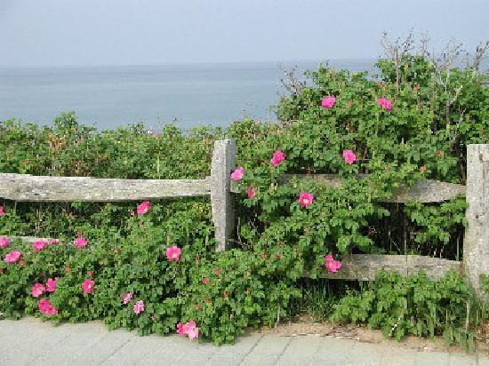 Town Crier Motel: Roses (Rosa rugosa), Nauset Light Beach, Eastham
