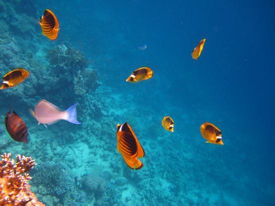 Hilton Sharm Waterfalls Resort: Snorkeling ponton Hilton