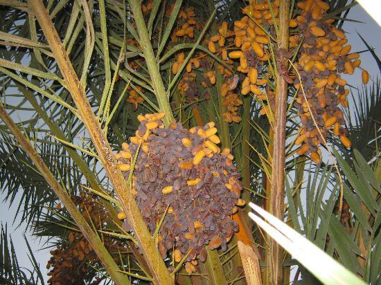 Kasbah Toda Tinfou Zagora: les dattes de la vallée