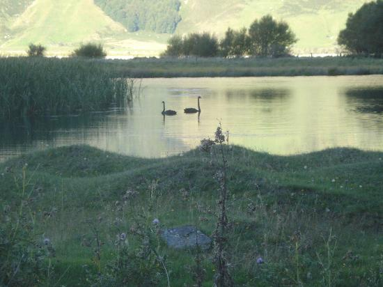 Criffel Peak View B&B and Apartment: Black swans next to the road from Mt. Aspiring to Wanaka