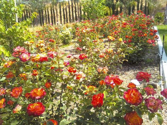 Comfort Suites Redlands: from their rose garden