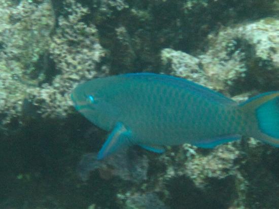 ReefView Apartments: Parrotfish