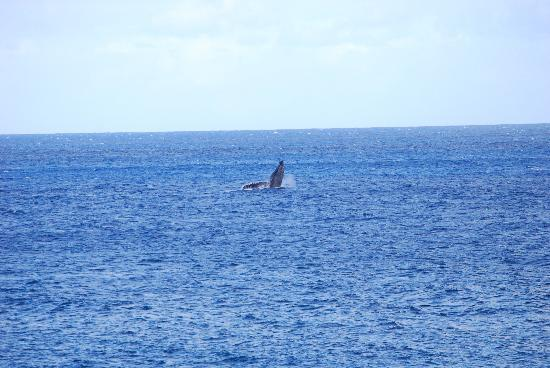 Ke Iki Beach Bungalows: Humpback Whales swimming by