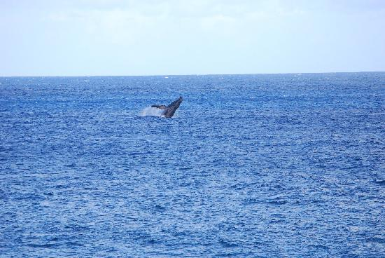Ke Iki Beach Bungalows: Humpback Whale
