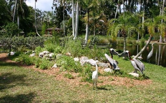 Pelicans In The Sarasota Jungle Gardens Picture Of