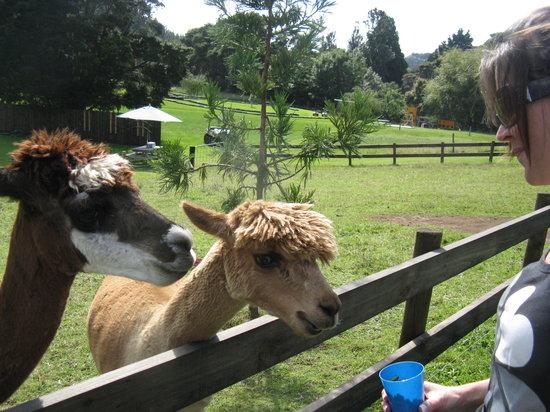 Combat Zone Paintball and Fun Park : Feeding The Alpacas