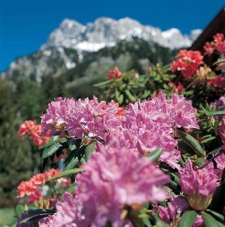 Nesselwaengle, Österreich: im Juni ist die Blütezeit der Alpenflora