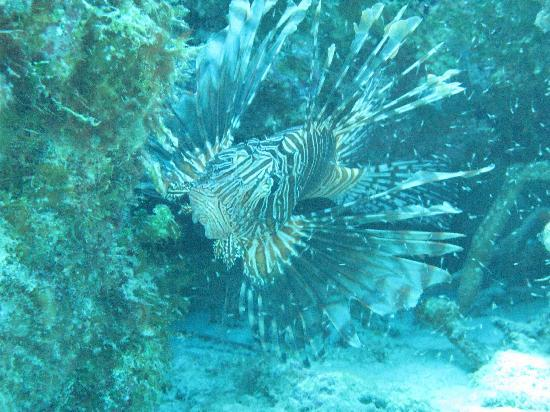 Cape Santa Maria Beach Resort & Villas: Lion Fish