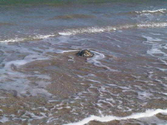 South Padre Island, TX: Sea Turtle returning to gulf after freeze
