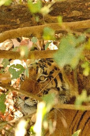 Kanha Jungle Lodge: Our best tiger sighting