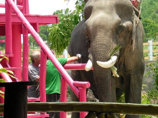 Hutsadin Elephant Foundation: Elephant being treated by volunteers