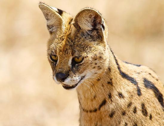 Ngorongoro Crater: Serval