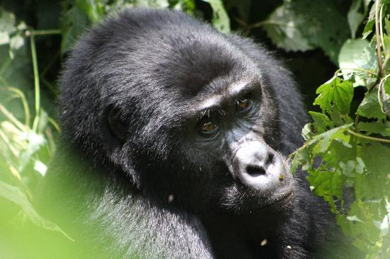 Bwindi Impenetrable National Park: Gorilla up close(2)