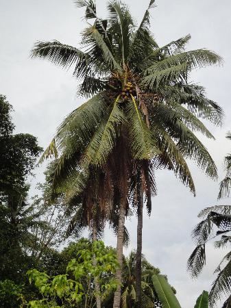"""Coco Alami Guest House : Un des nombreux """"coconut tree"""""""