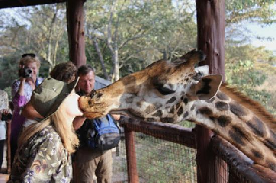 African Fund for Endangered Wildlife (Kenya) Ltd. - Giraffe Centre: The Kiss