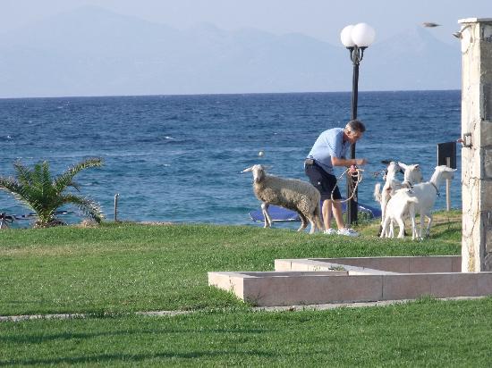 Alykanas Village Hotel: the stray goats, soon rounded up, the kids enjoyed them lol