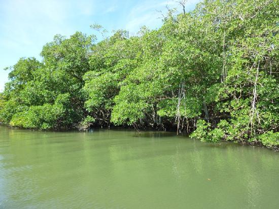 Villa Rosa: la mangrove où vivent 37 familles de manati
