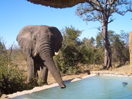 Leopard Hills Private Game Reserve: Drinking from our plunge pool