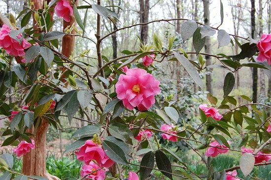 South Carolina Botanical Gardens: Camellias