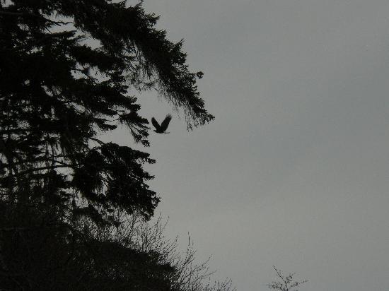 Ocean Wilderness Inn: Eagle in flight