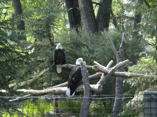 Billings, MT: Bald Eagles
