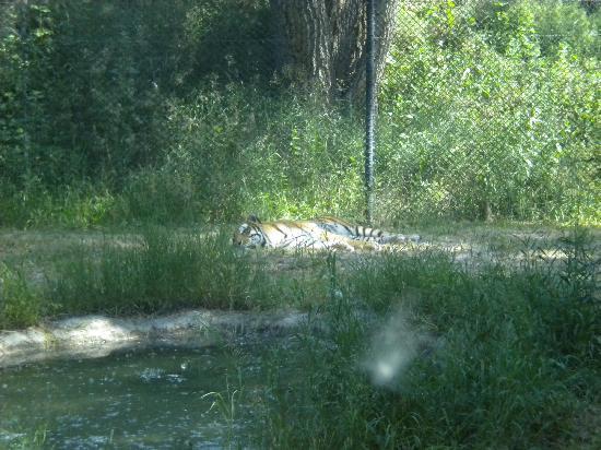 Billings, Μοντάνα: Siberian Tiger