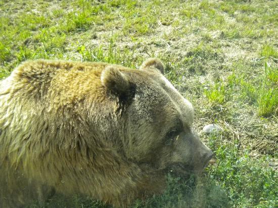 ZooMontana: Grizzly Bear