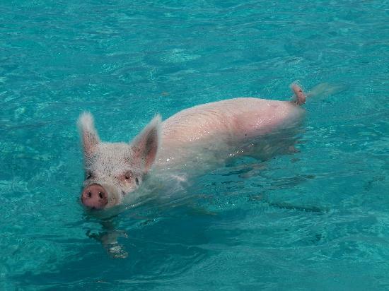 Gran Exuma: SWIM WHIT PIGS