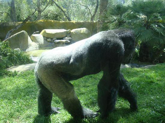 Santa Barbara, Kaliforniya: Lowland gorilla at the zoo