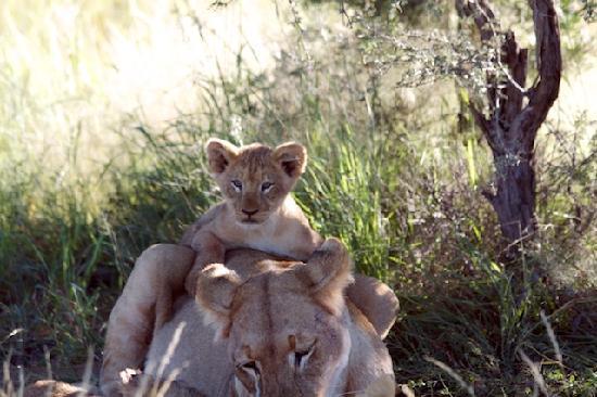 Tswalu Kalahari Reserve: Lions