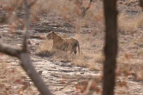 Sher Bagh : and the tiger of course!