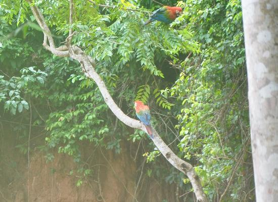 Posada Amazonas: parrot at the salt lick- foggy