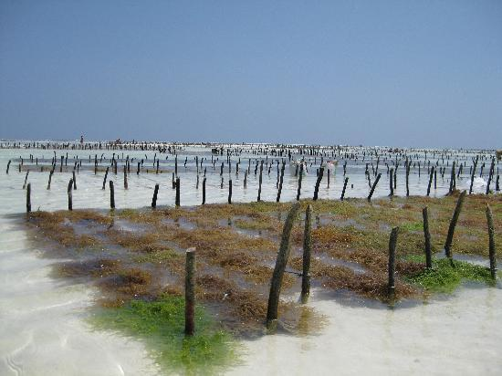 Dhow Inn: seaweed plantation nearby