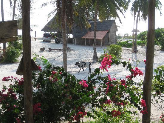 دهو إن: view from breakfast... strolling cow