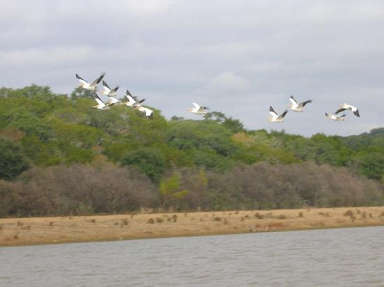 Vanishing Texas River Cruise: Whitel Pelicans