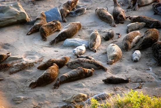 Carpintería, CA: seal colony on Carpinteria State Beach