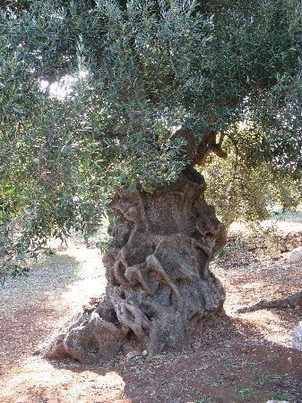 Ostuni, Italia: olive tree