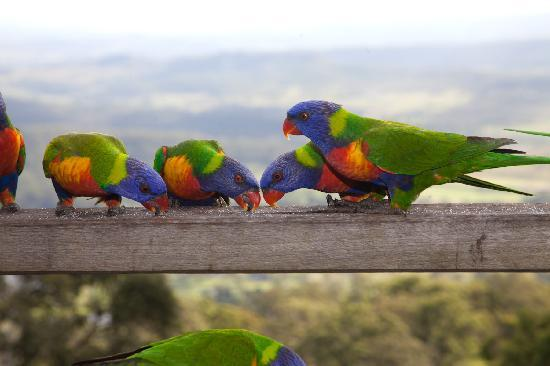 Mount Tamborine, Australia: local birds