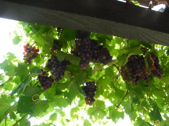 Moonlight Guest House: Grapes in the garden