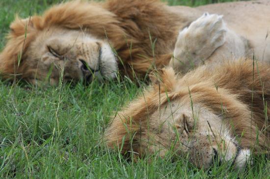 Masai Mara naturreservat, Kenya: Masai Mara Lions sleeping