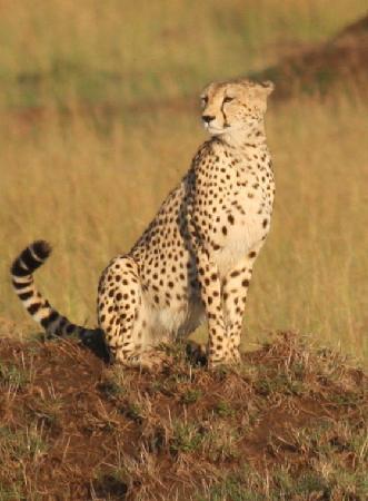 Reserva Nacional Masai Mara, Quênia: Cheetah Masai Mara