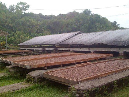 The Grenada Chocolate Company : Lagerung und Trocknen der Kakaobohnen