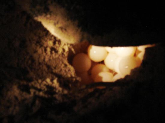 Lankayan Island Dive Resort: le uova della tartaruga