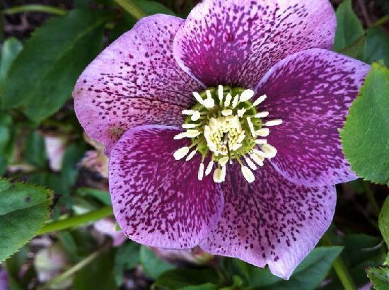 Crystal Springs Rhododendron Garden: flower