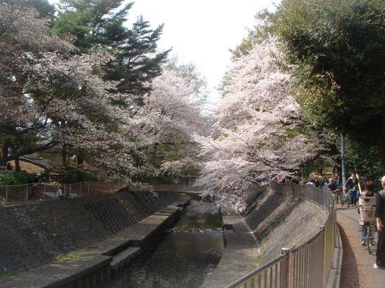 Suginami, Japan: 川沿いの桜