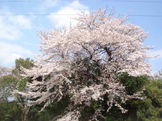 和田堀公園, 満開時の桜