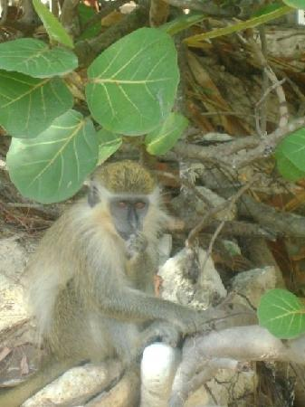 Holetown, Barbados: One of the wild monkeys.