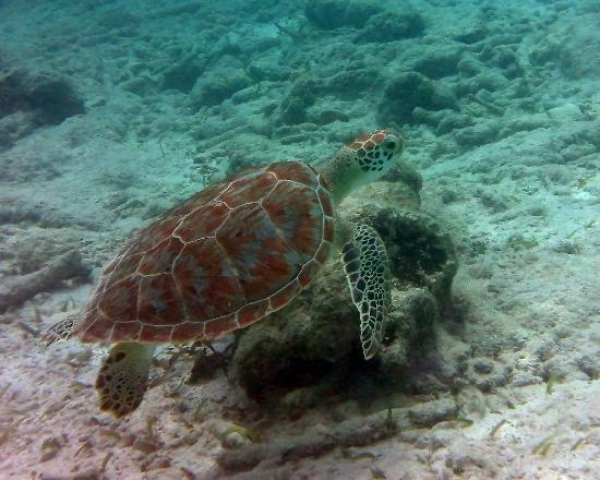 Riviera Maya, Mexico: snorkel off gbp akumal beach