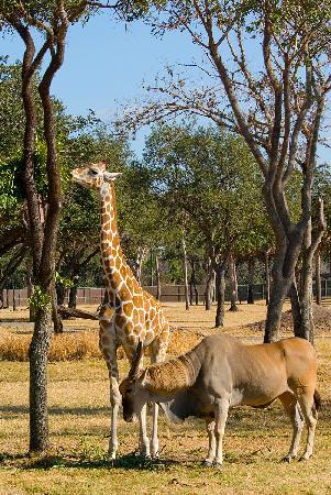 Disney's Animal Kingdom Lodge - animals on savanna