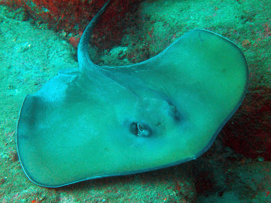 Trincomalee, Sri Lanka: A Giant Stingray at Double Rock